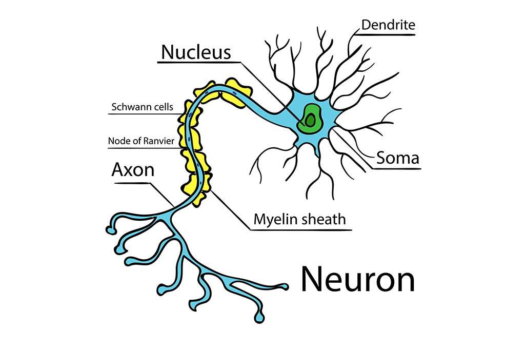 Миелиновая оболочка нейронов мозга